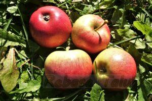 Eesti õun Lea