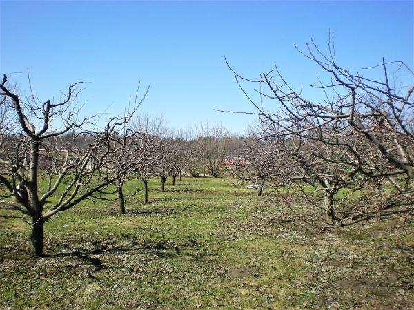 Lõigatud õunaaed
