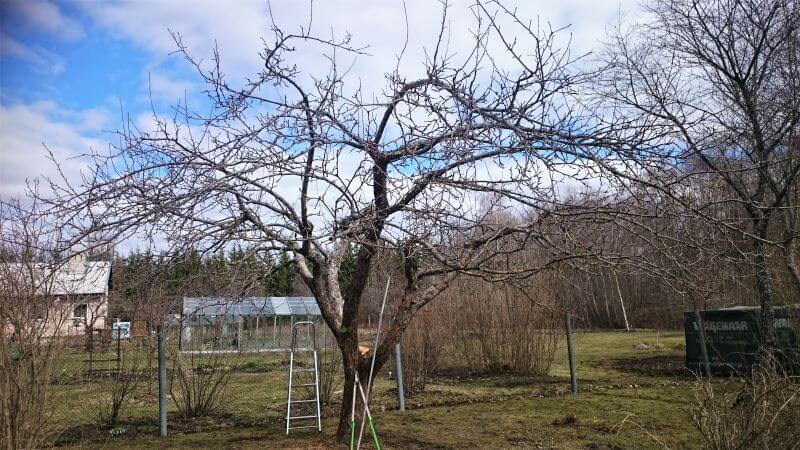 Õunapuu peale lõikamist