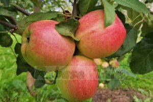 õun Solnõško