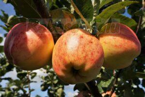 Õun Sügisjoonik