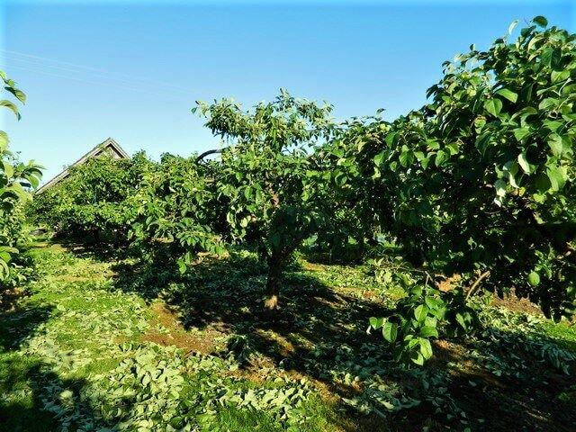 Suvine õunapuude lõikus