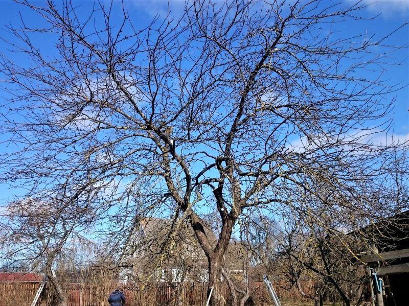 Vana õunapuu peale lõikust