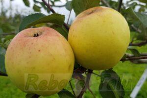 Õun Filippa
