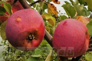 Eesti õun Kastar