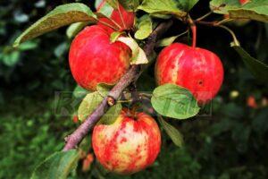 Õun Koit