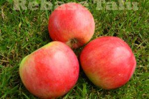 Õun Krasnoje-Rannjeje