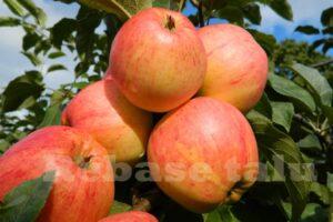Õun Krügeri tuviõun