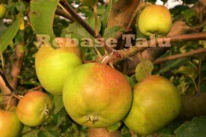 Eesti õun Liivi Sbulõun