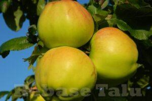 Eesti õun Mõnsa
