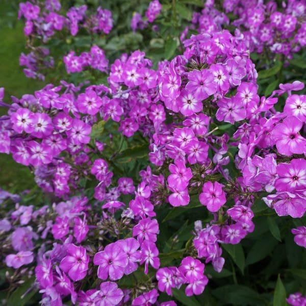 Floks roosa 2